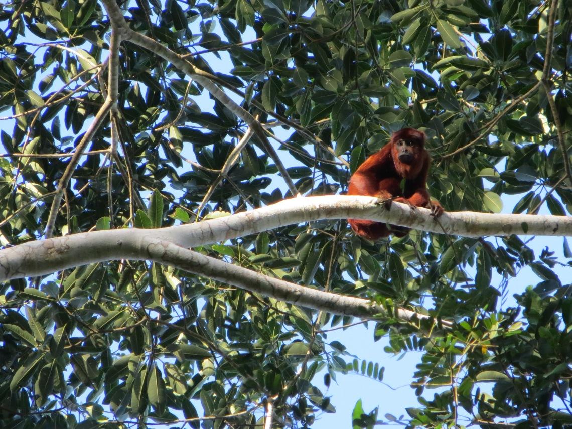 Howler Monkey, Serere reserve bolivia