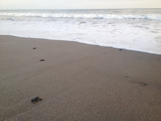 Baby turtles making their way to the sea