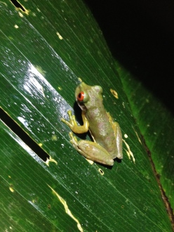 Frog, Costa Rica