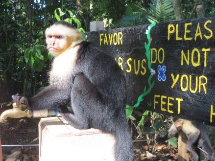 White-faced Capuchins, Costa Rica